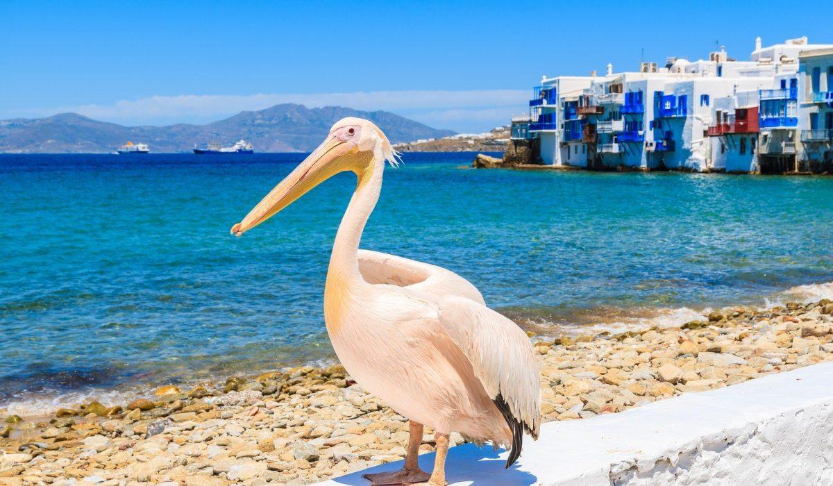 Famous pelican bird posing for photos against beach in Mykonos town shutterstock_428318647